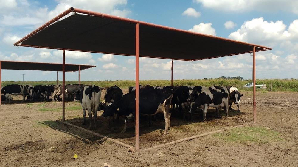 Vacas abajo de una estructura mediasombra