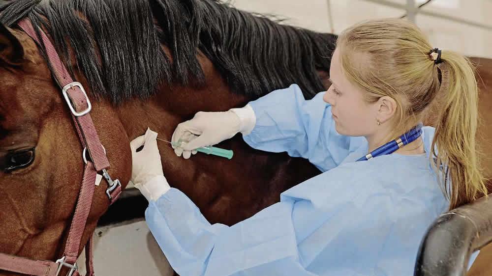 Veterinaria vacunando a un equino