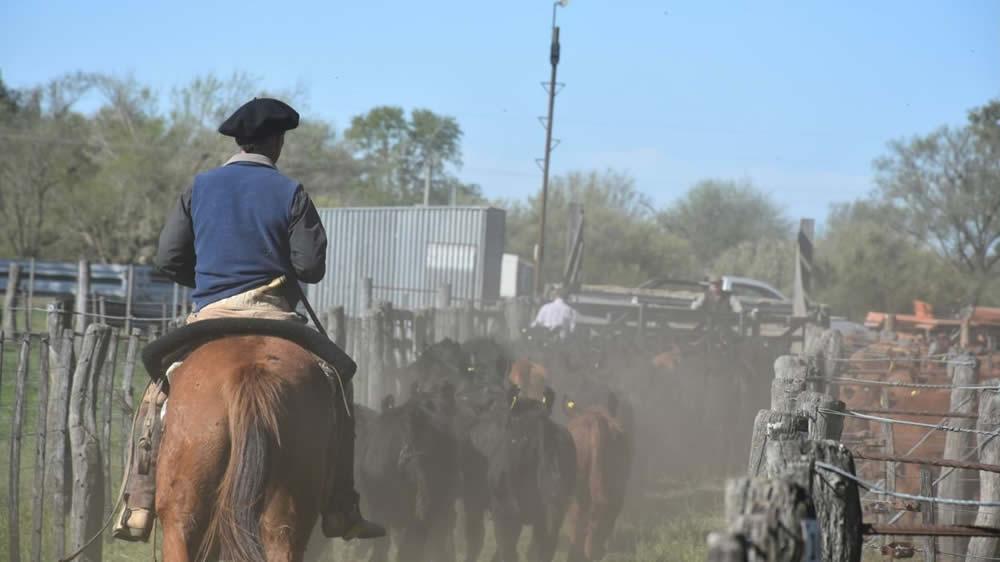 Llevando ganado en remate feria