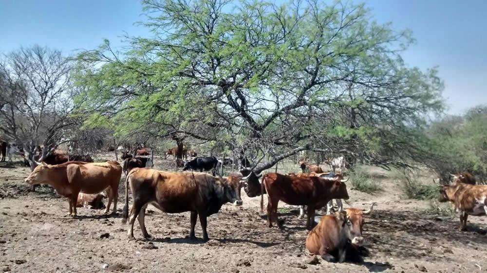 Bovinos criollos en el campo