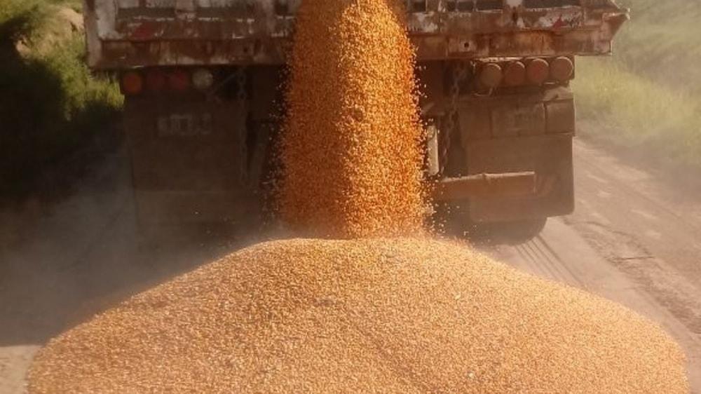 Camionero descargando maíz en la ruta