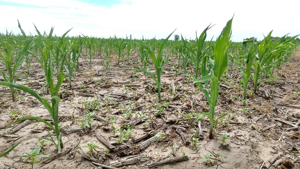 Maíz creciendo en suelo seco