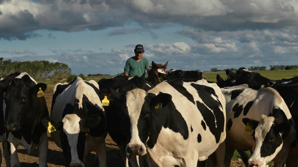 Peón llevando vacas