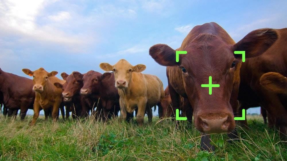 Vacas con reconocimiento facial