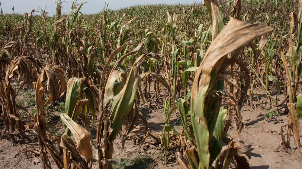 Sequía afecta a maíz
