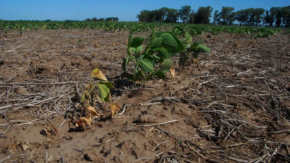 Sequía en cultivo de soja