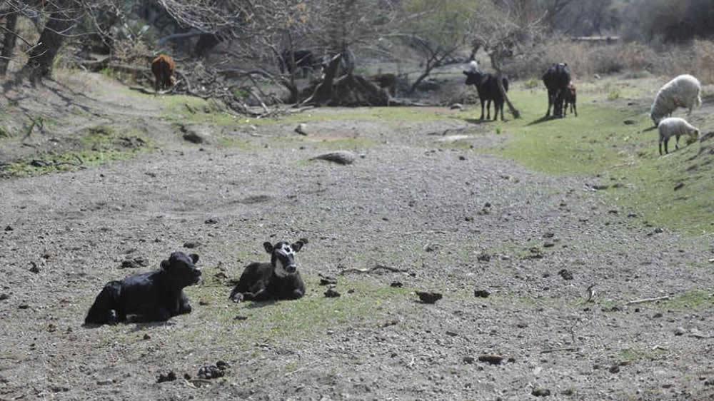 Sequía en el campo con ganado
