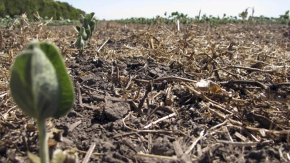 Soja germinando en suelo seco