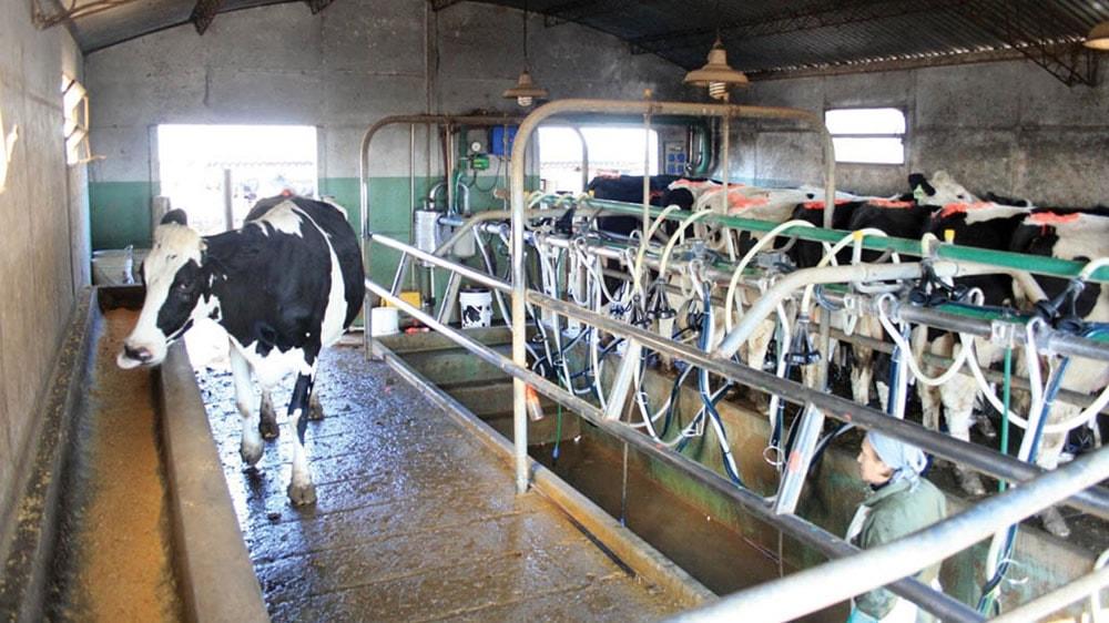 Vaca Holstein en el tambo