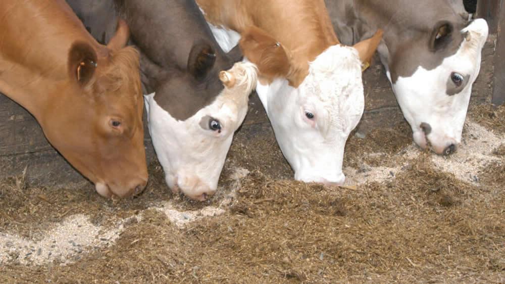 Vacas comiendo forraje y granos