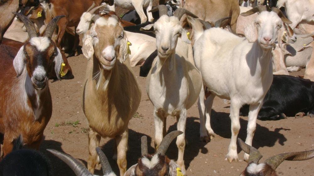 Cabras criollas