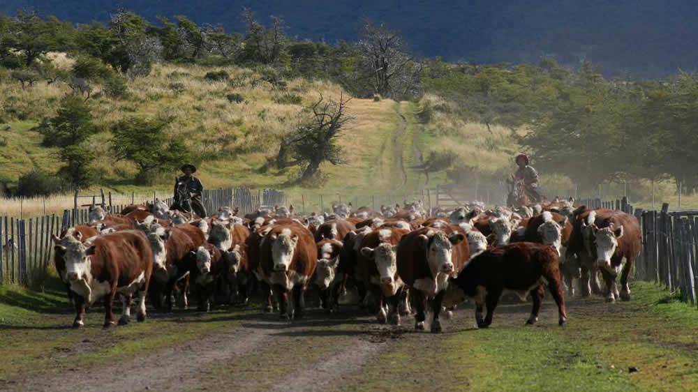Ganado vacuno de la patagonia Argentina