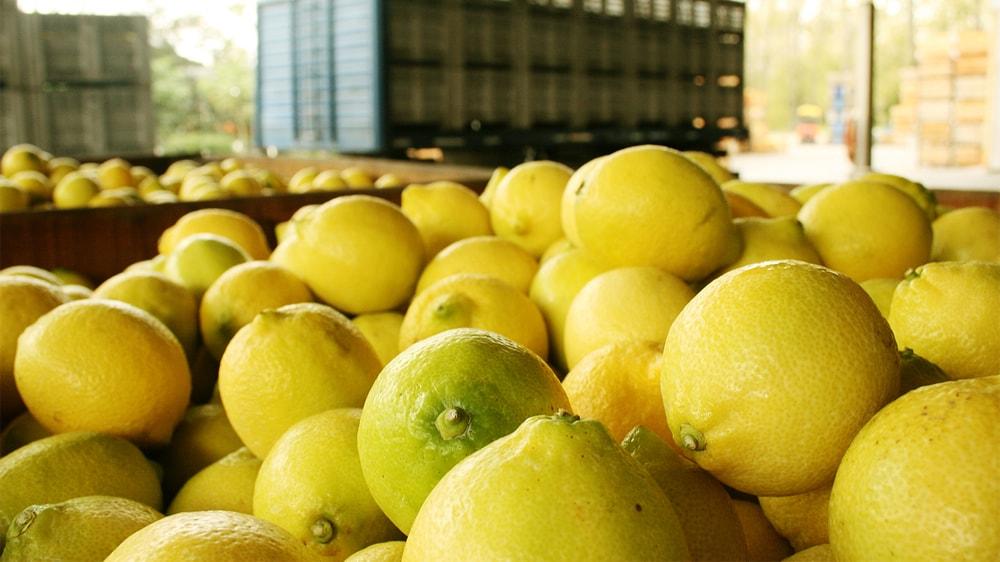Limones de Tucumán para exportación a EE UU
