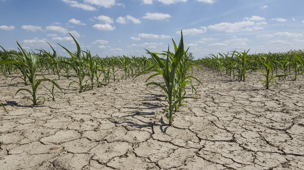 Maíz creciendo en la sequía