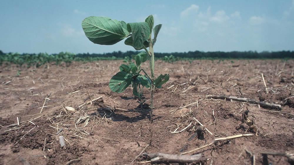 Planta de soja creciendo en plena sequía