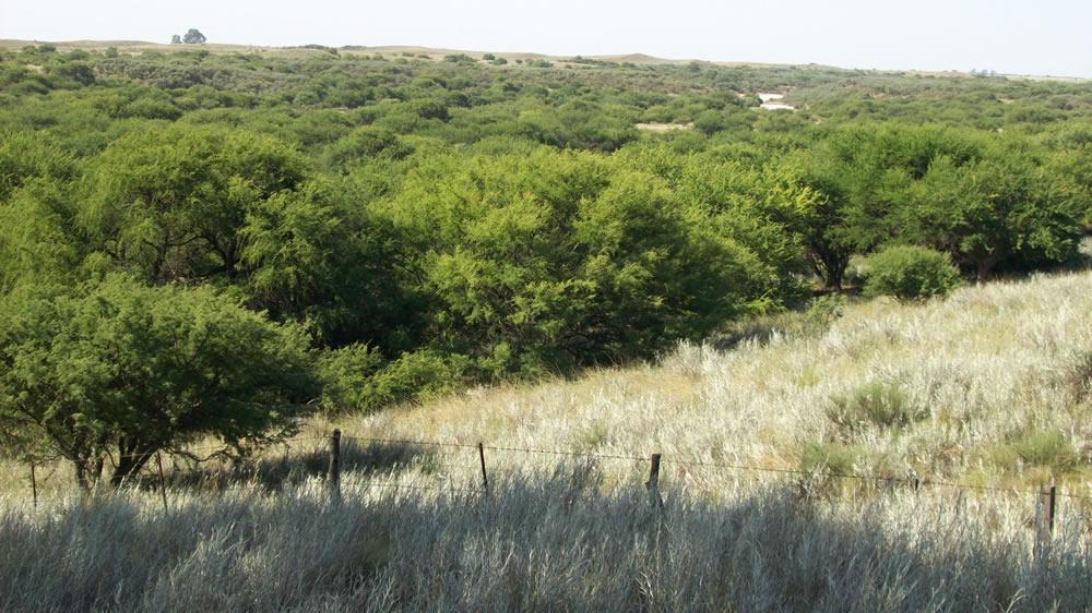 Bosque de caldén en La Pampa