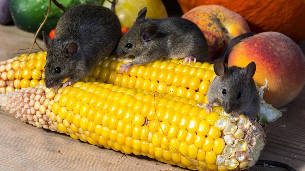 Ratones comiendo choclos