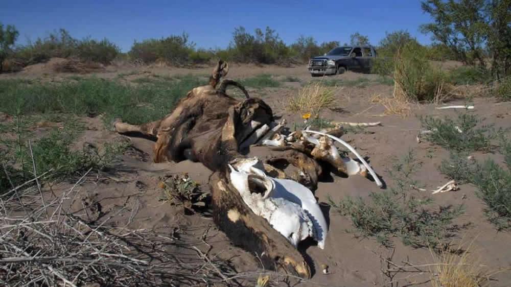 Vaca muerta por la sequía