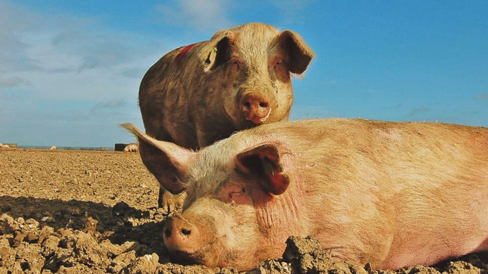 Peste porcina africana: China endurece el control sobre las vacunas ilegales